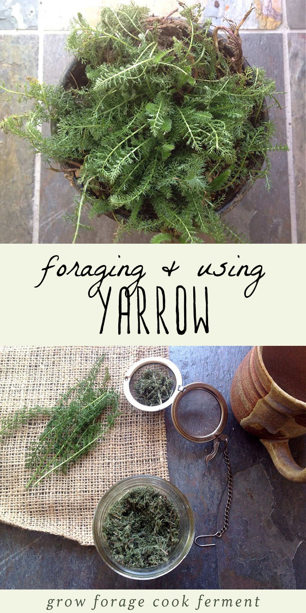Yarrow is one of the most beneficial wild plants that there is. Foraging or wildcrafting for yarrow is easy and fun, you might even have some in your own backyard! Learn how to identify yarrow, and how to use it in your herbal medicine practice. #herbalism #foraging