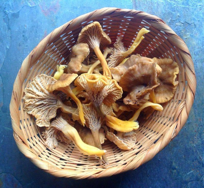 winter chanterelles in a basket