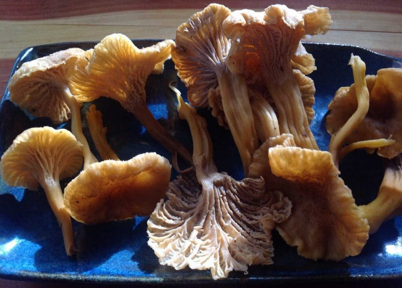 freshly foraged winter chanterelles on a blue plate