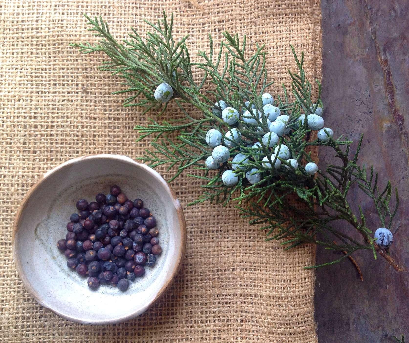 Foraging For Juniper Berries