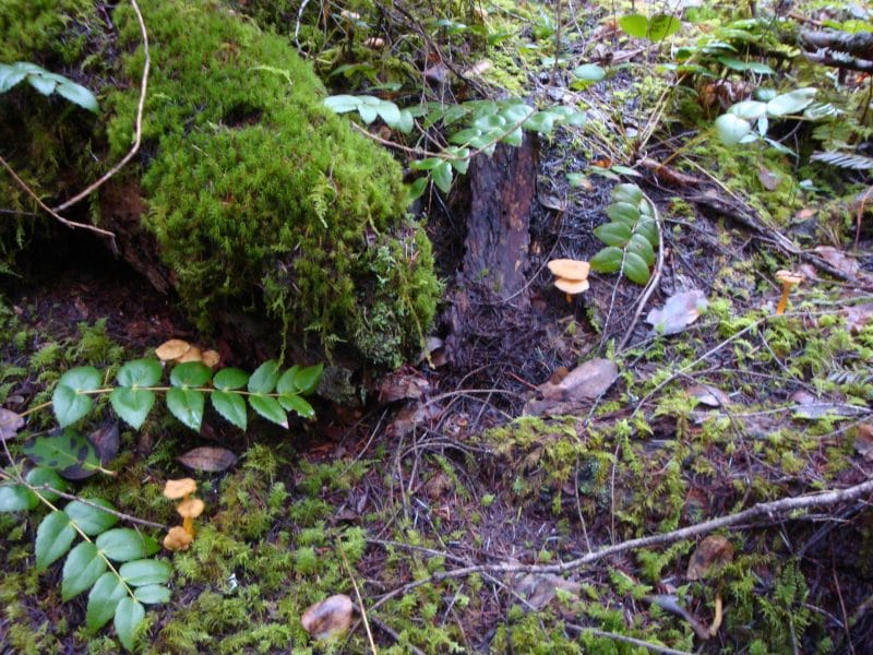 quite a few winter chanterelles here and there on the forest floor