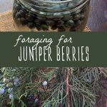 Foraged juniper berries infusing, and a fresh bundle of juniper berries.