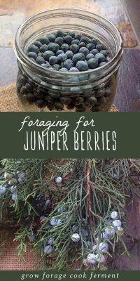 Foraged juniper berries infusing, and a fresh bundle of juniper berries.