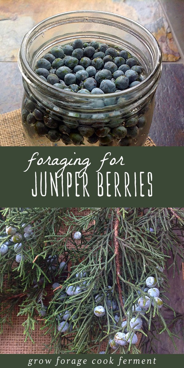 Foraging for juniper berries in the winter is easy and fun. Juniper berries have so many uses outside of making gin, including both culinary and medicinal uses (but please - don't forget the gin!). Click through to learn how to identify and forage for juniper berries, and my favorite ways to use juniper berries in the kitchen, in infusions, and for herbal remedies. #juniperberries #forage #foraging #wildcrafting #herbalmedicine #gin