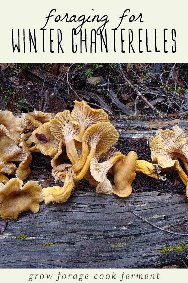 Yellowfoot, or winter, chanterelle mushrooms growing on a log in the woods.
