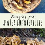 A basket of foraged yellowfoot chanterelle mushrooms, and winter chanterelles growing on a log in the woods.