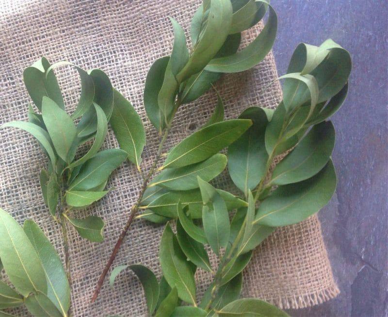 oregon myrtle leaves