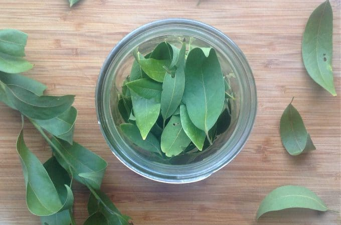 foraging for bay leaves