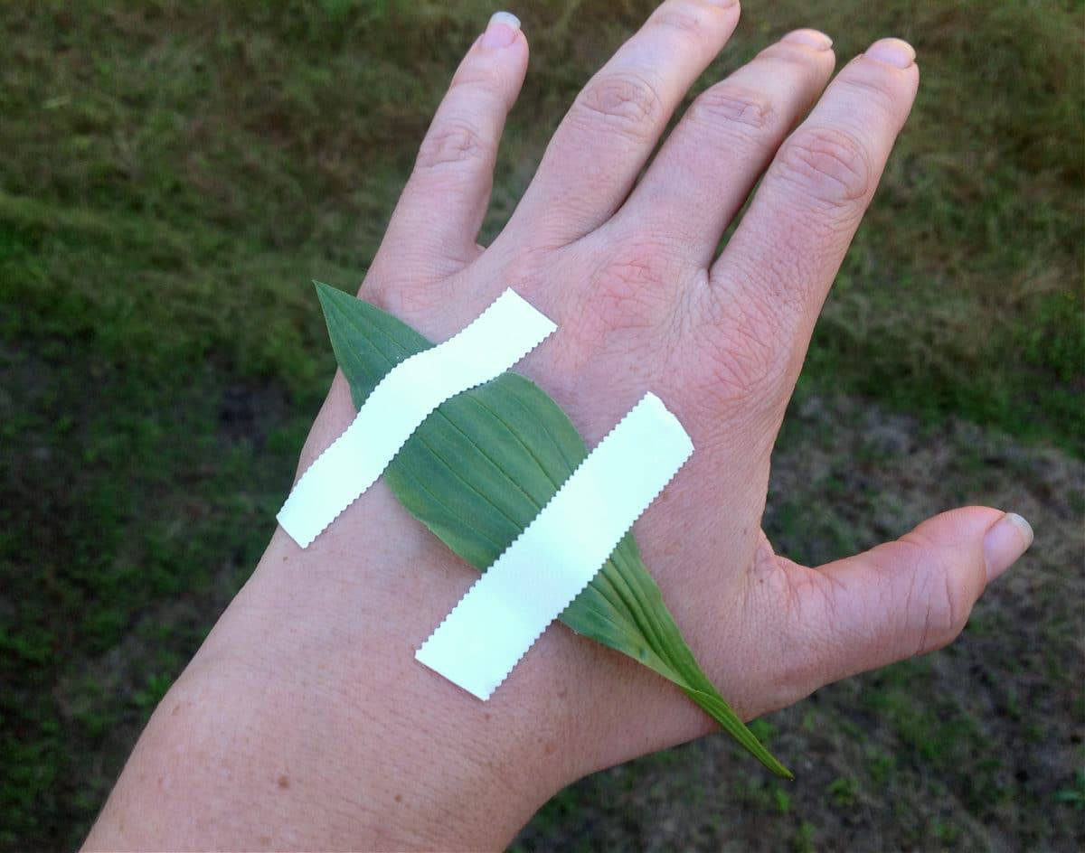plantain leaf taped to a hand