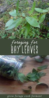Bay leaf plant, and foraged bay leaves in a glass jar on a cutting board.