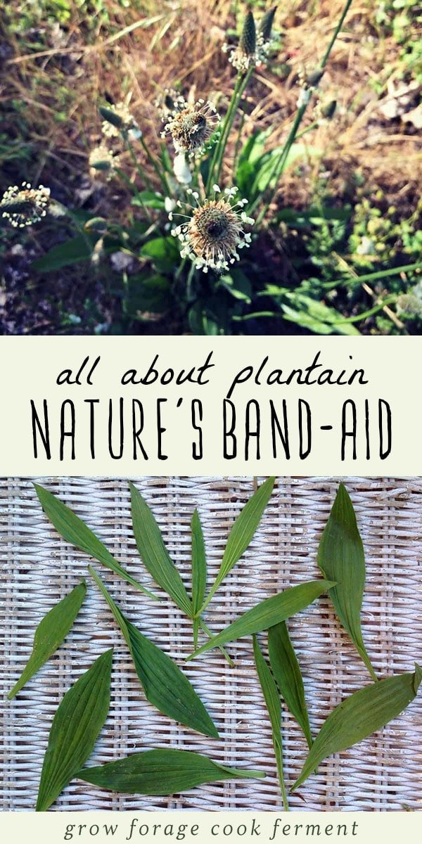Much more than just a weed, plantain is a powerful medicinal. It's a common ingredient in herbal salves, herbal teas and and other remedies, and is a highly effective cough medicine. Learn how to identify plantain, and how to use this powerful plant in your herbalism or herbal medicine practice. #herbalism #herbalmedicine