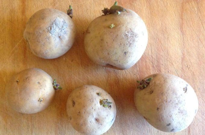 sprouted potatoes
