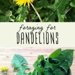 A dandelion plant, and a foraged dandelion plant on a wood background.