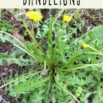 A dandelion plant growing in a yard.