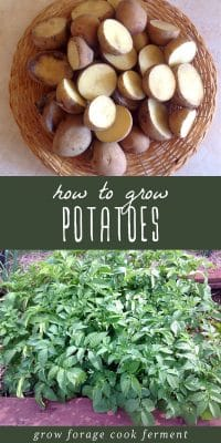 Fresh potatoes in a basket, and potatoes growing in a garden.