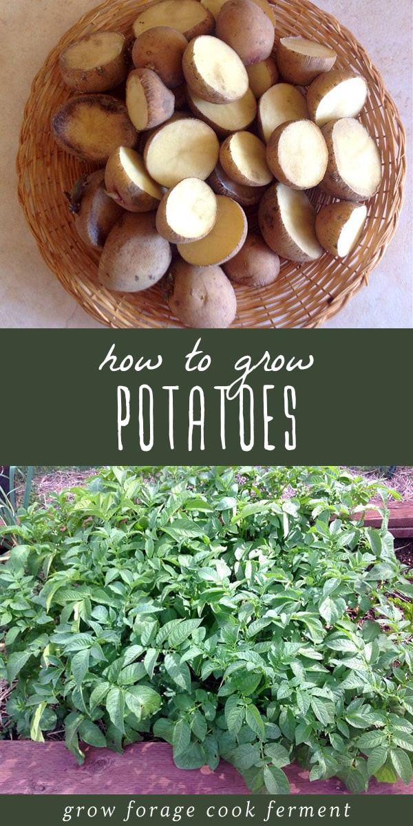 If you've never had a homegrown potato you're missing out! Here's how to grow potatoes, one of the easiest and tastiest veggies for your home garden. #potatoes #gardening