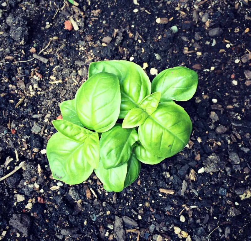 a baby basil plant growing in soil