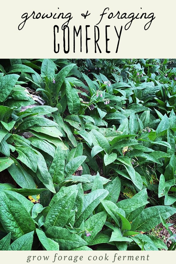 Several comfrey plants growing in the forest.