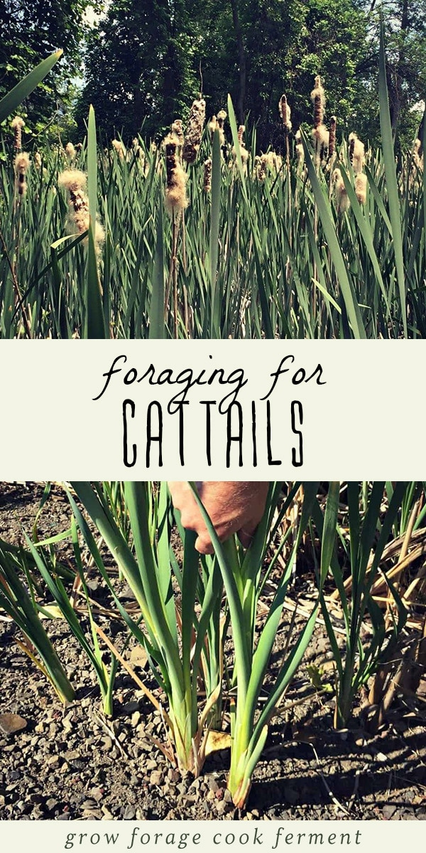 How to identify and forage for cattails, and a woman pulling up fresh cattails.
