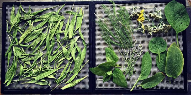 fresh herbs on a drying screen for salve making