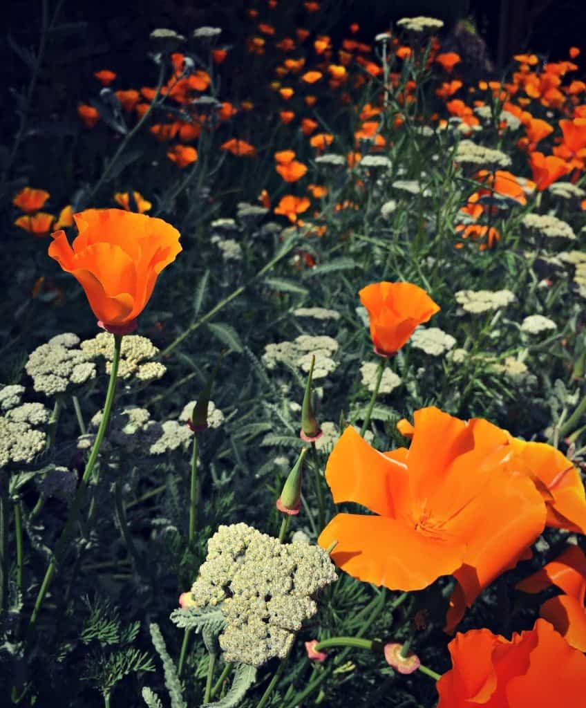 poppies and yarrow