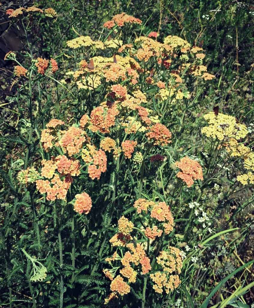 different variety of yarrow
