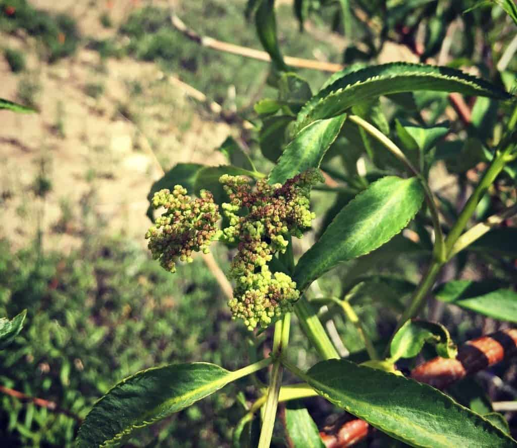 elderberry flower bud