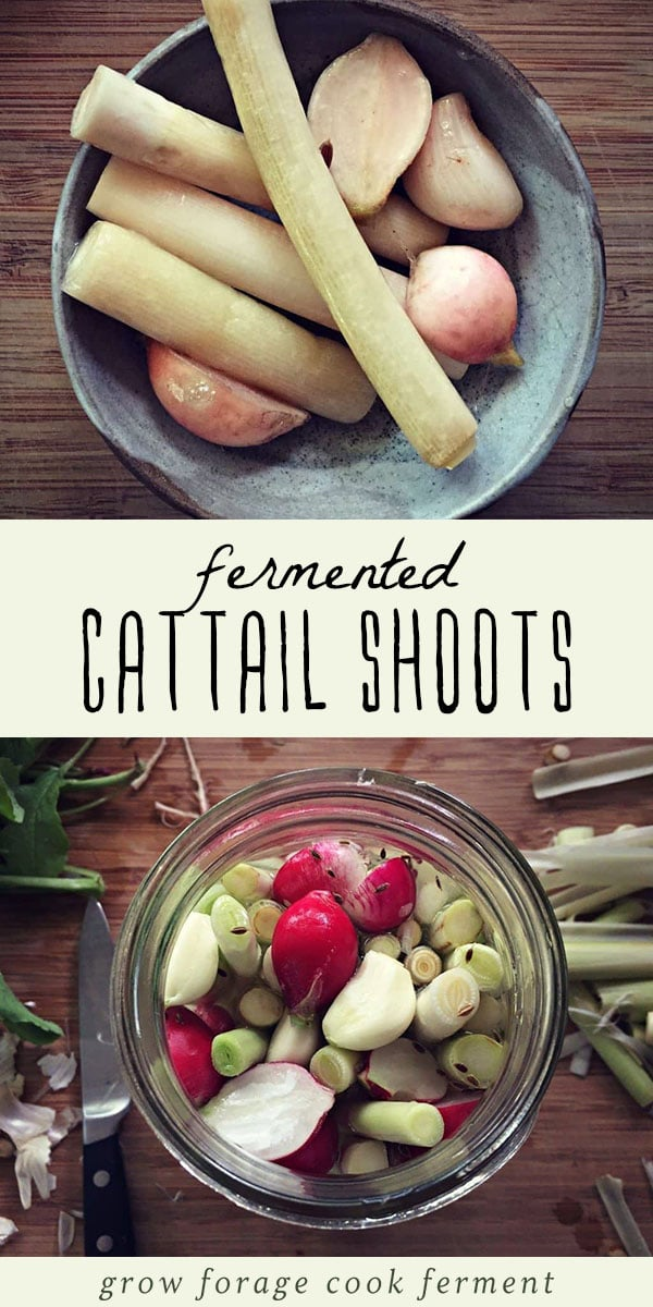 Do you know where a patch of cattails is? I bet you do! Go forage for their shoots, then make these fermented cattail shoots with radishes and garlic. This easy ferment would be a great topping for a salad, or as part of an appetizer platter. They taste amazing and are packed with healthy gut healing probiotics! #fermented #realfood