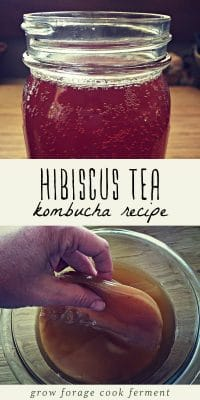 A jar of hibiscus kombucha, and a woman's hand holding a healthy kombucha scoby.