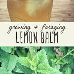 Lemon balm iced tea and a lemon balm plant.