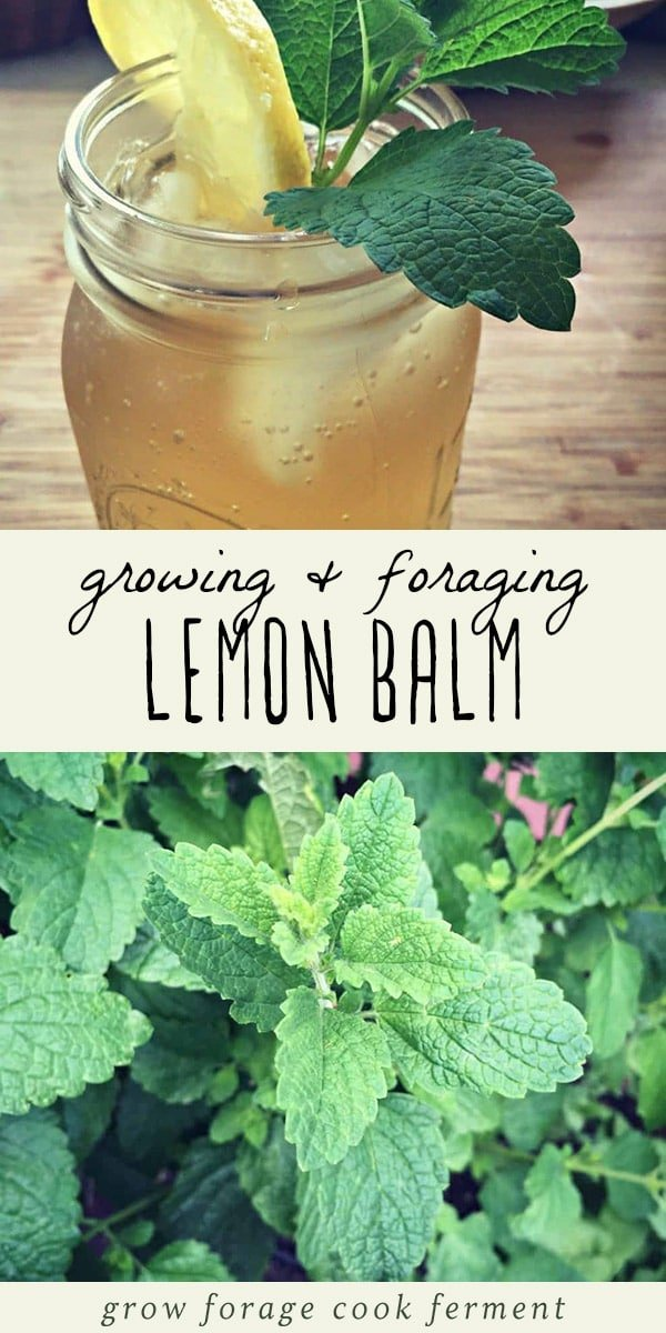Lemon bam is an edible and medicinal herb in the mint family. You  may not have heard of it, but you've probably seen it and may even have some growing in your own backyard. Learn how to identify lemon balm, how to forge for it, how to grow it, and its many culinary and herbal medicine uses. Plus a recipe for lemon balm iced tea! #herbalism #herbs #gardening #foraging