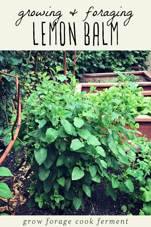 A picture of a lemon balm plant.