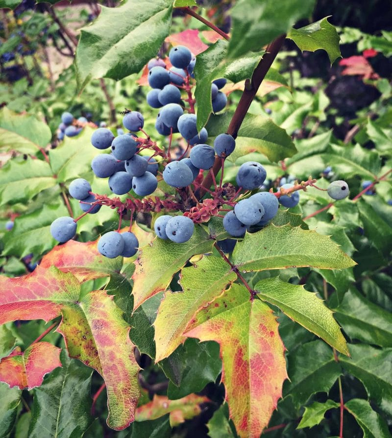 oregon grape berries