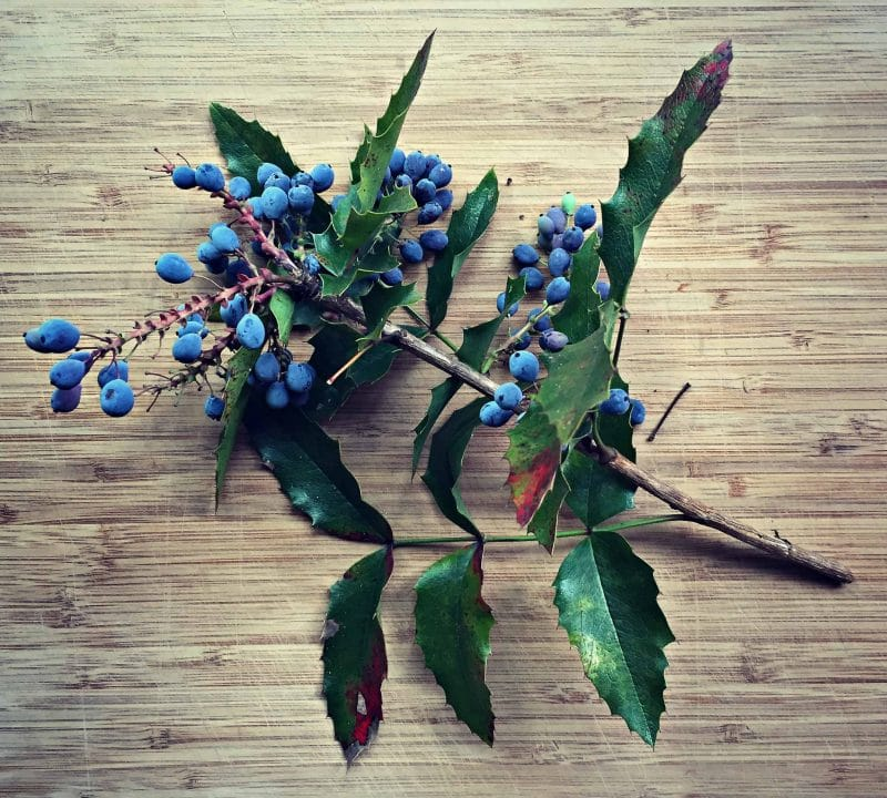 oregon grape branch