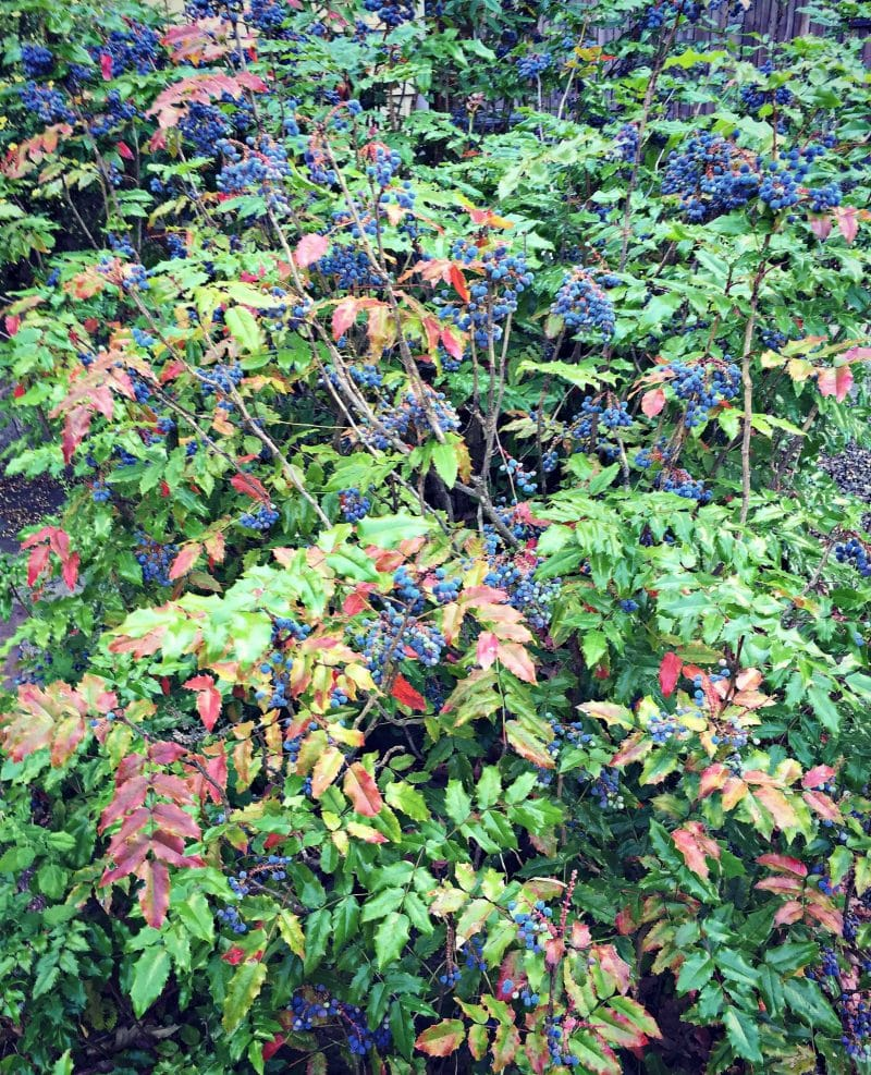 tall oregon grape bushes