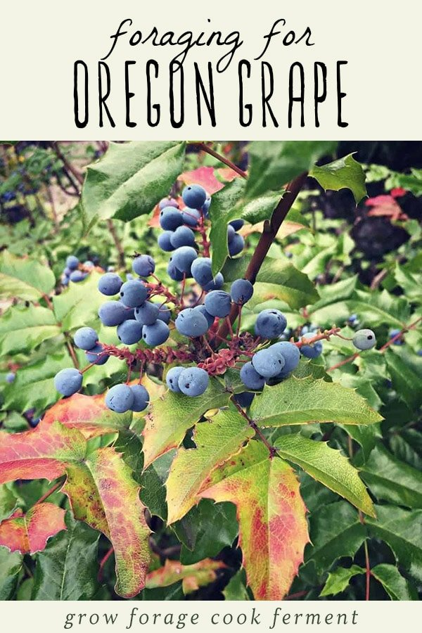 Oregon grape bush, and how to forage for oregon grapes.