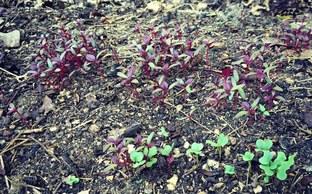 Amaranth and collard greens seedlings