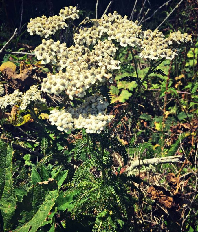 beach yarrow