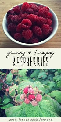 A bowl of foraged raspberries, and wild raspberries growing in the forest.
