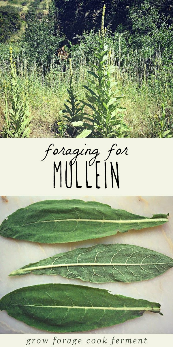 A mullein plant, and foraged mullein leaves on a wood background.