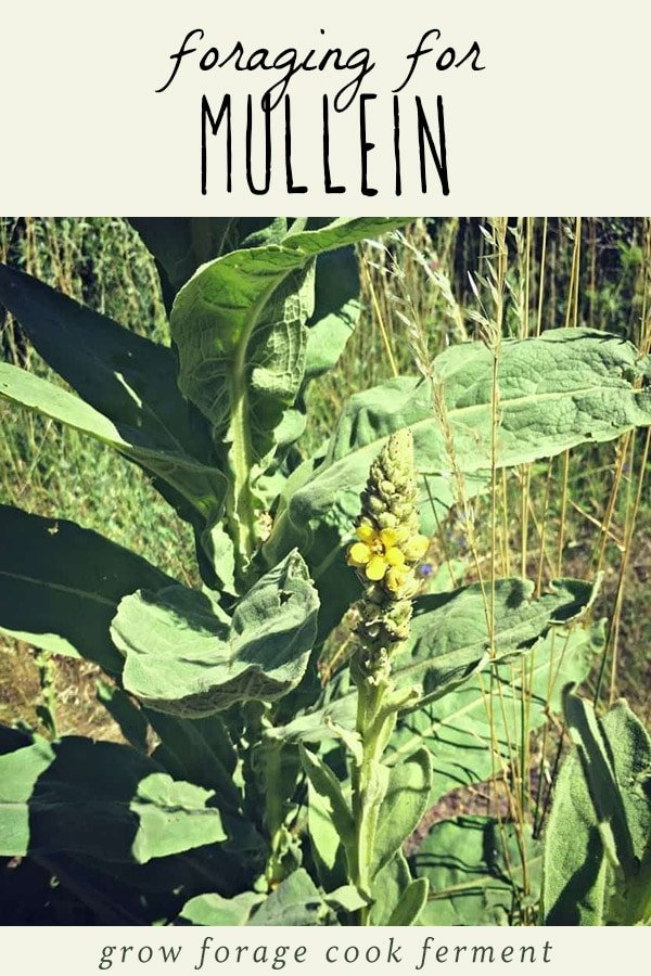 A mullein plant.