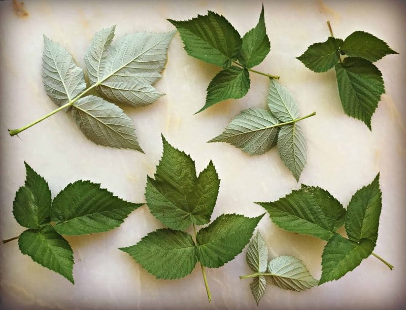 raspberry leaves