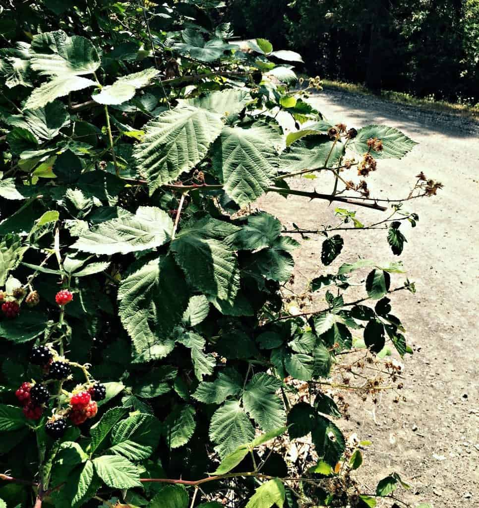blackberries by road