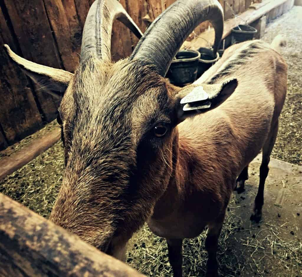 carlo goat