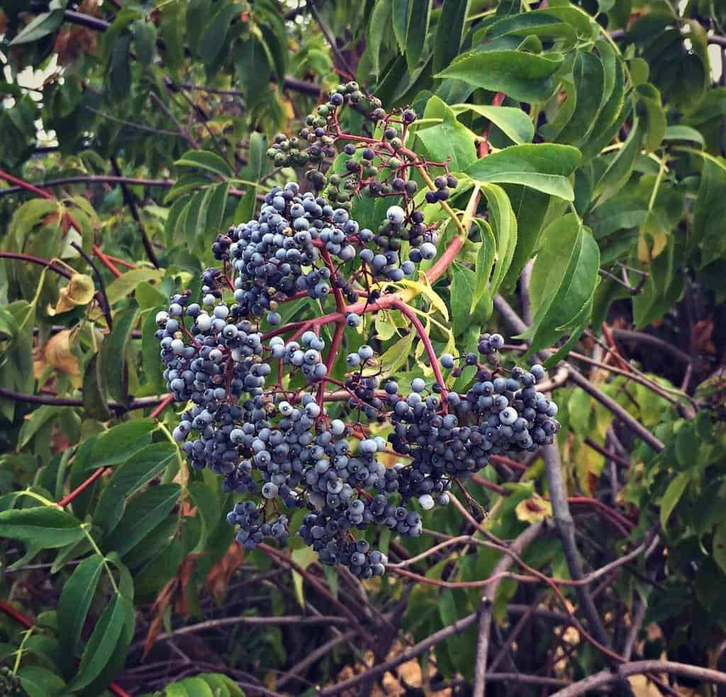 blue elderberry cluster