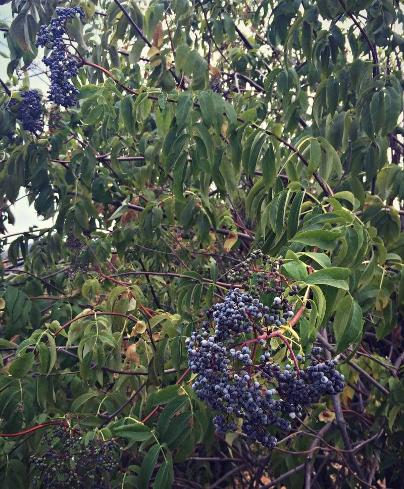 blue elderberry tree
