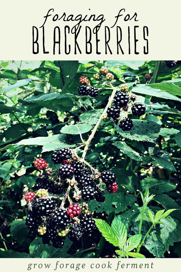 Blackberries growing on a bush - tips on how to forage for blackberries!