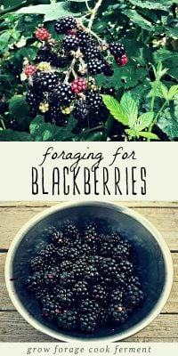 A bowl of foraged blackberries and blackberries growing on a bush.