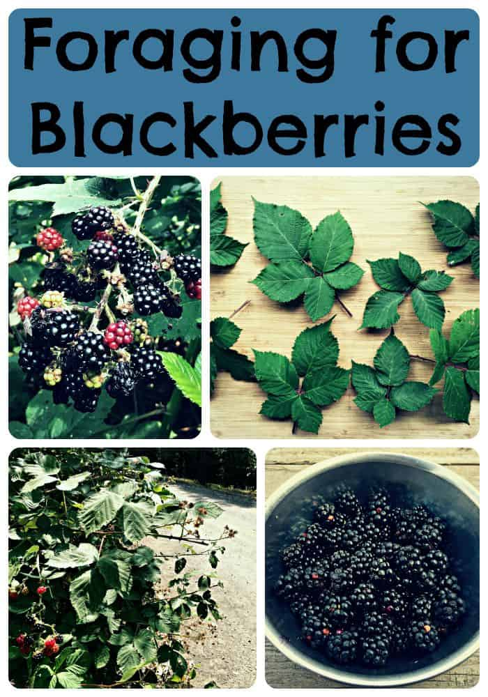 foraging for blackberries collage