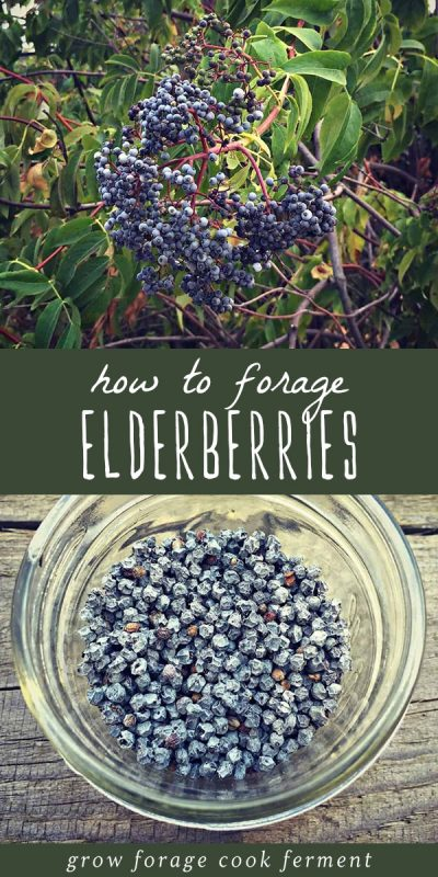 An elderberry bush, and a bowl of foraged elderberries.